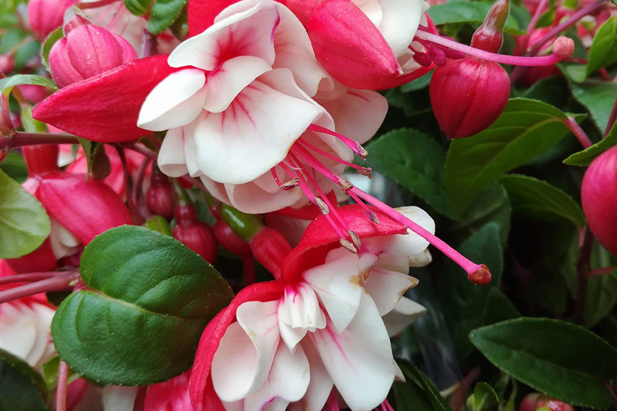 Pflanze Fuchsienbluete rot-weiss