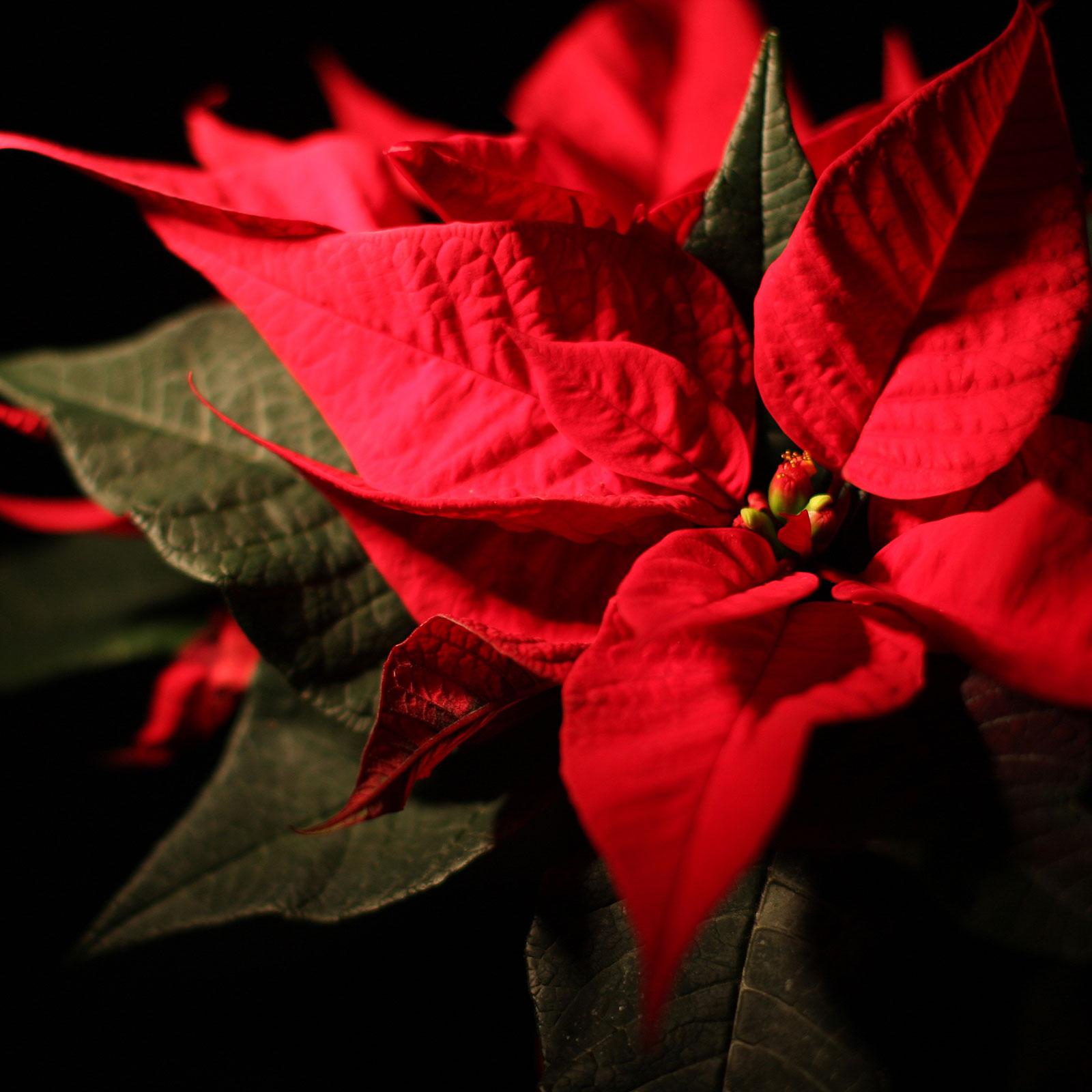 roter Weihnachtsstern im Advent