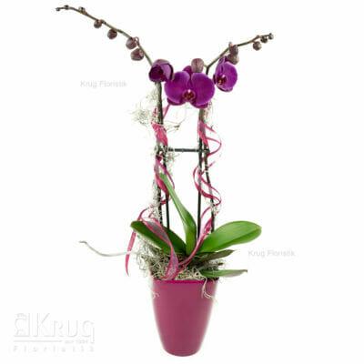 lila Phalenopsis-Orchidee mit Dekoration und Übertopf